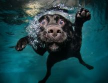 Funny dog face under the water - HD Macro wallpaper