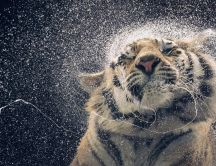 Slow motion wallpaper - Big tiger macro wallpaper