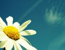 Macro chamomile in the sunshine - Hot summer holiday