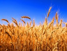 Wonderful golden wheat - Summer food HD wallpaper