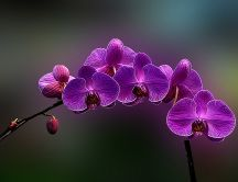 Amazing purple Orchid flower - HD wallpaper