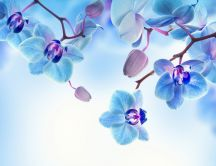 Romantic flower - Blue and white Orchid - HD wallpaper