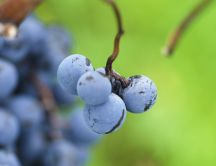 Macro wallpaper with Autumn fruits - Delicious grapes