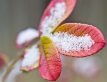 Macro wallpaper - Beautiful red leaf full with snow