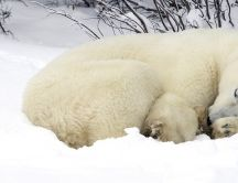 Sleepy Polar bear in the white snow - HD wallpaper