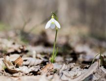 One little snowdrop in the forest - Beautiful spring flower