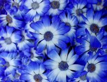 Wonderful blue passion on a wallpaper - Flower power