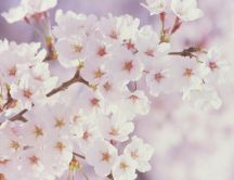White beautiful flowers on a blossom tree - HD spring season