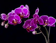Beautiful contrast purple orchid and black background