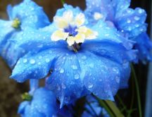 Wonderful blue flower - Macro water drops on the leaf