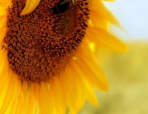 Macro sunflower - Summer time on the field