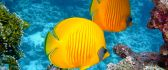 Yellow family fish walk under water - HD wallpaper