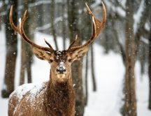 Beautiful wild deer animal in a beautiful snowy winter day