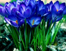 Wonderful bouquet of blue flowers - Spring season time