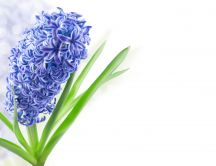 One beautiful hyacinth spring flower - Spring season perfume