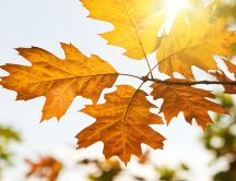Beautiful sun in the Autumn season - Rusty leaves in tree
