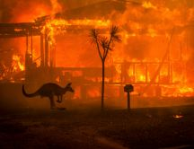 Kangaroo from Australia - Fire in the continent sad days