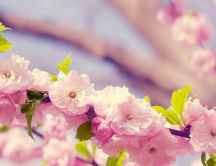 Beautiful cherry tree blossom flowers - Spring season time