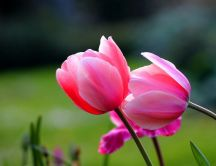 Two wonderful pink tulips - HD wallpaper