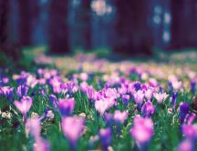 Crocus purple flowers in the forest - HD wallpaper blurry