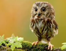 Beautiful little owl bird alone on a branch - HD wallpaper