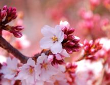Wonderful Sakura flowers - Blossom trees Spring time