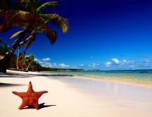 Big Orange starfish in the golden sand - Beach palm