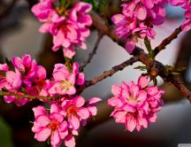 Purple flowers cherry blossom - Macro HD wallpaper