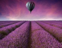 Wonderful purple Lavender field and a hot air balloon fly